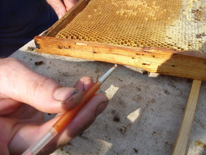 Как вывести матку пчел в домашних условиях