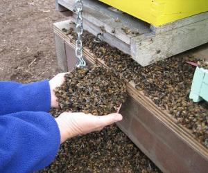 Мертвые пчелы и улей