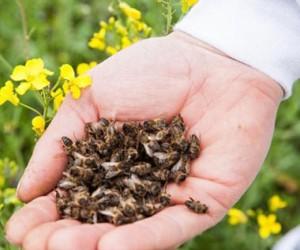 подмор пчелиный в руке - фото