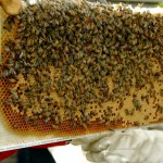 Фото пчелиных сот с пчелами