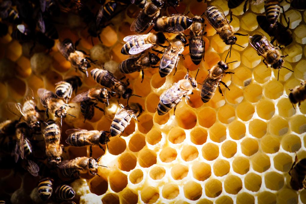 Перга пчелиная  чем полезна